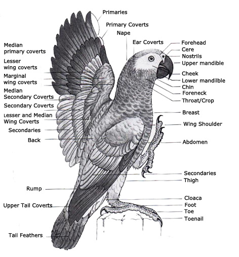 Macaw Parrot Anatomy Diagram - Trusted Wiring Diagram •