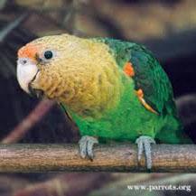 endangered cape parrot - Parrot Endangered