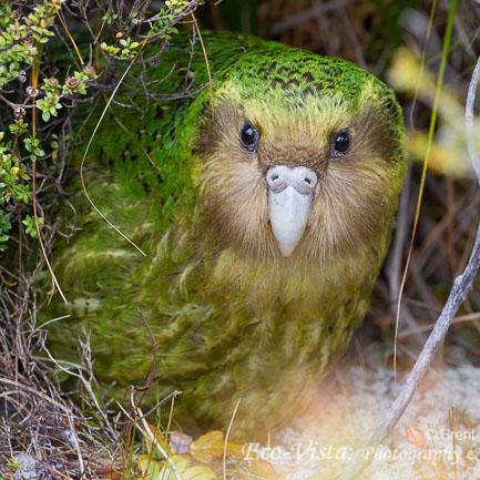 endangered kakapo - Parrot Endangered