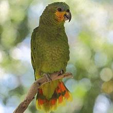 Amazona amazonica 1