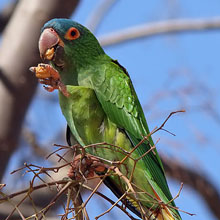 Blue-crowned Conure