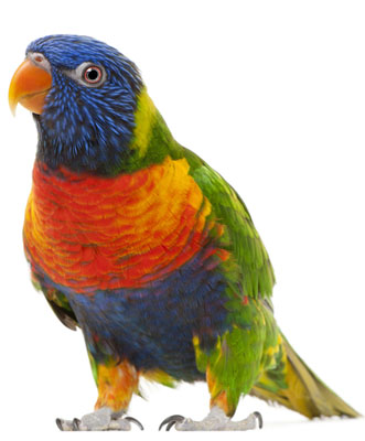 pic rainbowlorikeet2