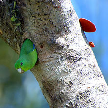 Blue-winged Parrotlet
