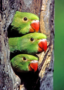 Ringneck Babies Peer from nest